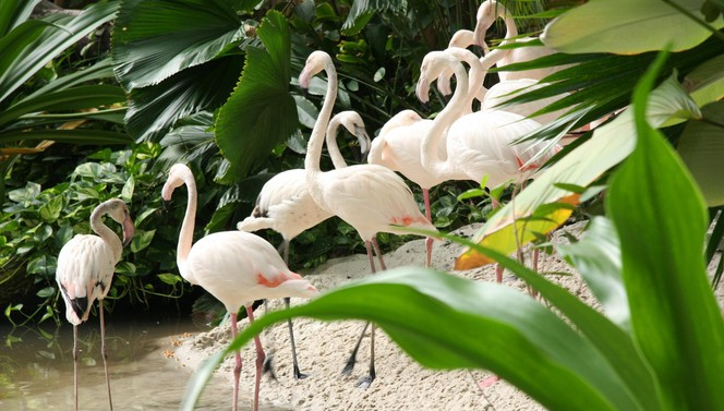 Tropical Islands Flamingos